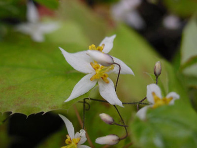 Epimedium stellulatum 'Wudang Star' close-up