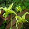 Epimedium franchetii 'Brimstone Butterfly' <br /> close-up