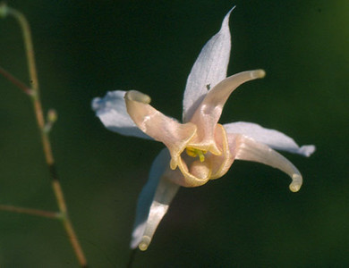 Epimedium pauciflorum bloei close-up