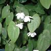 Epimedium diphylla