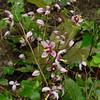Epimedium 'Kaguyahime' bloemen