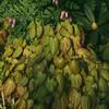 Epimedium x rubrum blad
