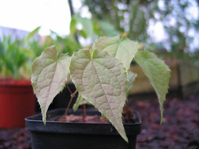 Epimedium leptorrhizum blad