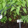 Epimedium grandiflorum 'La Rocaille'