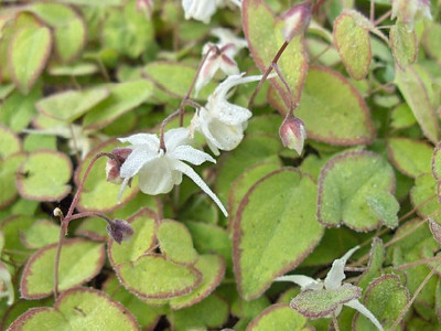 Epimedium grandiflorum 'Nanum' close-up