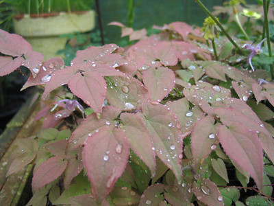 Epimedium grandiflorum 'Queen Esta' blad