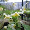 Epimedium D17 'White Flowered'