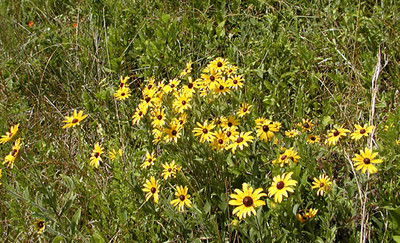 Meadow of Blackeyed Susans near Clark Park These lovely flowers were all along roadsides in Anderson County!