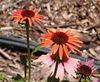 Orange coneflower--I'd never seen this variety before!<br /> Erin's Meadow<br /> 6/20/07