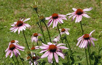 Purple Coneflowers Erin's Meadow Clinton, TN 6/20/07