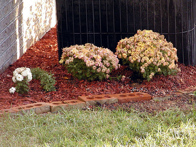 Starts of a mum bed.  I paid good $$ for these mums and took great care of them. They didn't stay pretty any time! The two on the far right were Dazzling Stacey one of my favorites. Now look at them?! Inspired by Franks mum bed, I made a start at it, but it isn't as pretty as his.