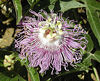 Purple Passionflower<br /> Passiflora incarnata<br /> Passifloraceae<br /> 6/20/07<br /> Anderson Co. TN near Erin's Meadow and the train tracks