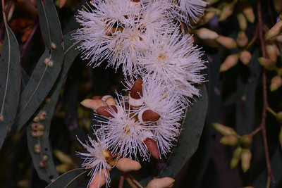 "Probably Forest Redgum, ""Eucalyptus tereticornis""  Large sprays of flowers, narrow leaves, and pointed ends to buds."