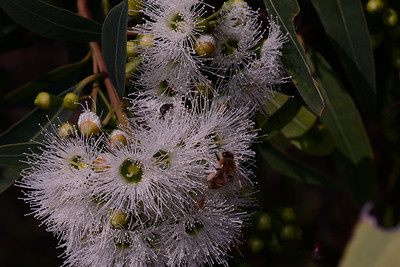 "Swamp Mahonany, ""Eucalyptus robusta""  Note buds somewhat cylindrical with pointed tips."