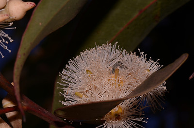 "Swamp Mahogany.  ""Eucalyptus robusta""  Flowers in autumn. Buds, seen in top left, have pointed ends."