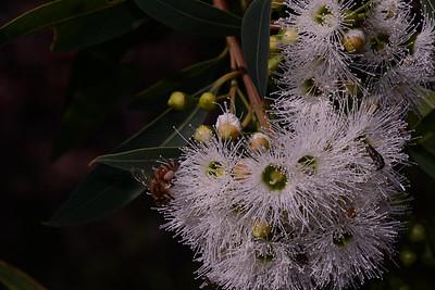 """Swamp Mahogany, """"Eucalyptus robusta""""."""