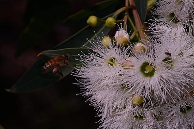 """Swamp Mahonany, """"Eucalyptus robusta"""""""