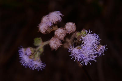 "Unknown warm and fuzzy which Barry has identified as ""Ageratum houstonianum"" a common but pretty weed on the North coast.  This is not an ""Acacia"" but I have parked it here  noting some similarity in the blooms."