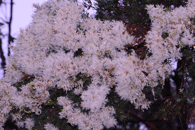"A new flower, early November, the aptly named Snow-in-summer.  From a distance the flowers en masse look like a snow drift.  A type of paperbark, see image of tree, with thick trunk and coarse exfoliating bark (look carefully on the image of the tree and find the Button Orchid), the ""Melaleuca linarifolia"".  I could not get high enough up for a photo of the flowers, which appear rather ragged and spindly."