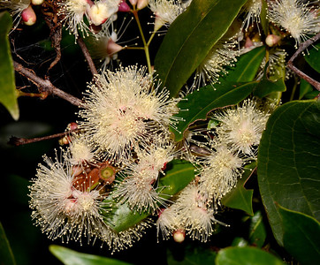 "This could be the ""Syzygium oleosum"" as previously seen from a tree on the other side of the river, now with fruit which looks different from the ""S. australe"" seen previously."