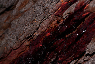 "Congealed and fresh ""blood"" oozing from the Bloodwood tree."