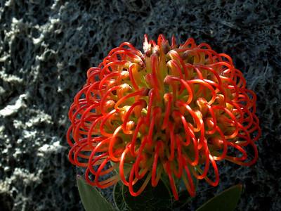 Protea The Pincushion - Leucospermum cordifolium