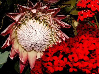 The King (Sugarbush) Protea - Protea cynaroides, South Africa's national symbol
