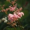 Filipendula palmata 'Elegantissima'