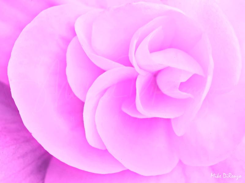 Pink Begonia    1940
