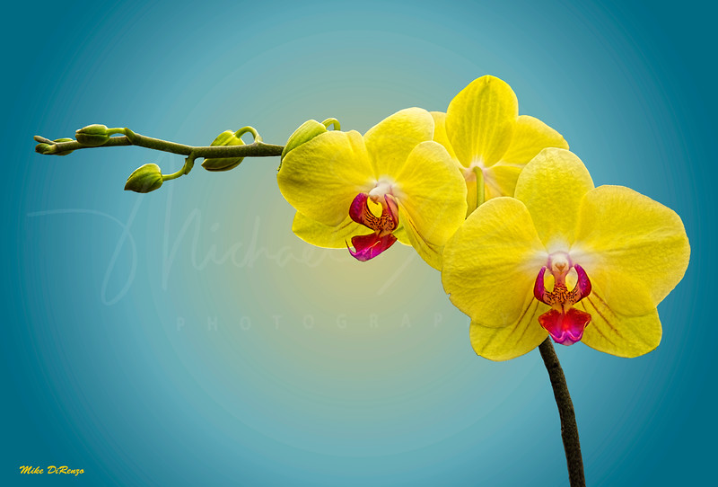 Orchids in Pastel 8393 w49