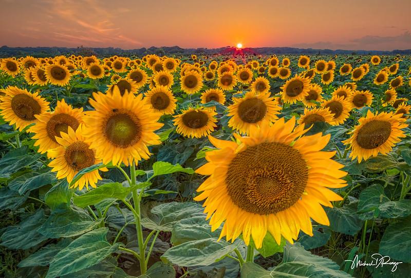 Sunshine and Sunflowers 6220 w68