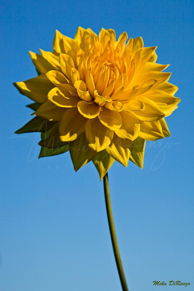 Yellow Dahlia  8095 w28