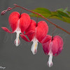 Bleeding Hearts 3468w20