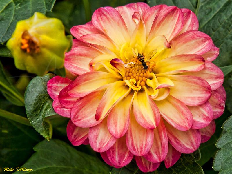 Dahlia and Bee 7737 w28