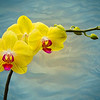 Wavy Orchid 8393 w49