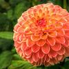 Orange Dahlia 7739 w28