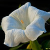 Moonflower at Sunrise 6715