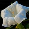 Moonflower at Sunrise 6715