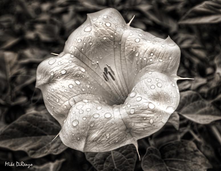 Moonflower aka Sacred Datura 4517  w24