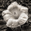 Moonflower aka Sacred Datura 4517  w24