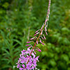 Fireweed    4559  w4