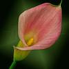 Cala Lily 8335 w49