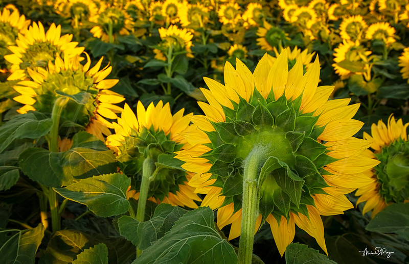 Sunflowers Backside 6155 w68