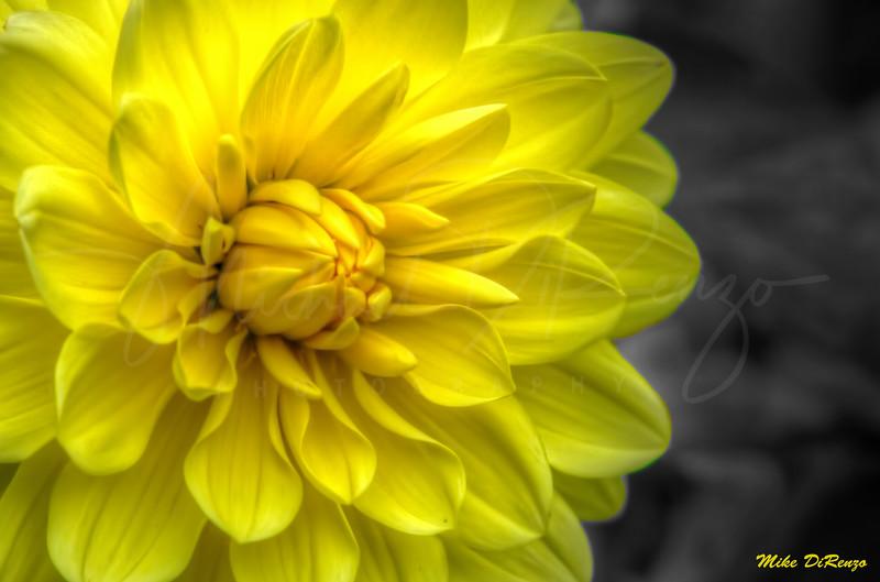 Yellow Dahlia Sunshine 7695 w28