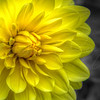 Yellow Dahlia Sunshine 7695 w28