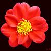 Red Dahlia  11650  w24