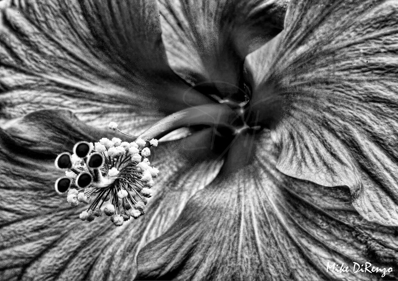 Hibiscus  Black and White  1408  w24