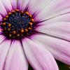 Lavendar Daisy 0741  w24