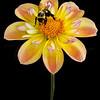 Bee and Dahlia 8053 w61