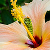 Hibiscus and Caterpillar 4750 w42
